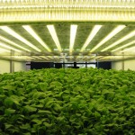 Aerofarm Systems growing unit lower level at 17 days
